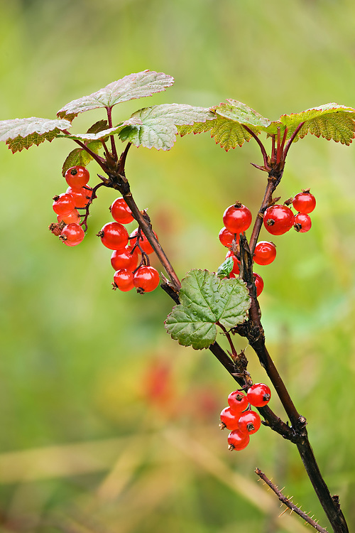 Fruit of Red Currant at North Fork of Eagle River in Eagle River Valley of Chugach State Park.  Chugach Mountains.  Southcentral Alaska.  Summer.  Morning.