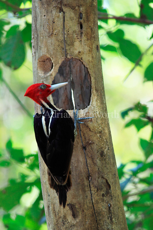 Pale-billed Woodpecker (Campephilus guatemalensis) male at nest hole. Curu Wildlife Refuge, Costa Rica. <br />