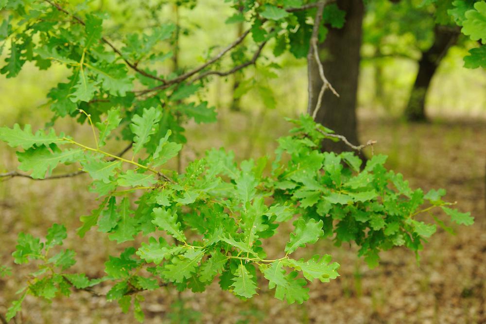 Oak, Quercus robur, Letea forest, Strictly protected nature reserve, Danube delta rewilding area, Romania