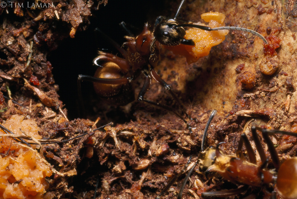 A Polyrhachis ant discards a morsel of strangler fig pulp from its nest after extracting the seeds to eat later.