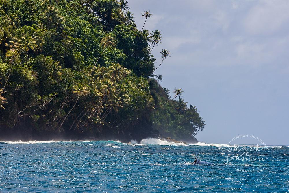 A humpback whale swims off the beautiful palm tree lined Te Pari coast, Tahiti, French Polynesia