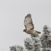 A red-tailed hawk (Buteo jamaicensis) off I-70 near Genesee Park, Colorado after a few inches of snow dropped on the foothills and Denver the night before, October 11, 2009.  (Photo/William Byrne Drumm)