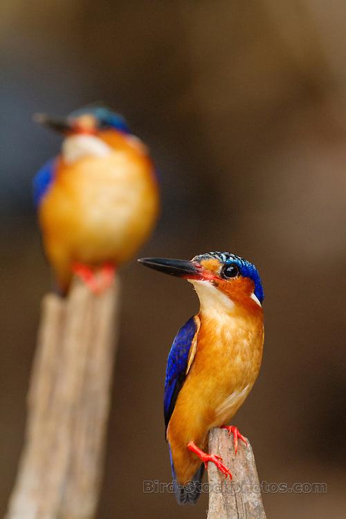 Malagasy Kingfisher, (Madagascar Kingfisher), Corythornis vintsioides, pair, Madagascar, by Marius Coetzee