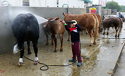© Licensed to London News Pictures.16/07/15<br /> Harrogate, UK. <br /> <br /> MATTHEW BENTLEY, 7, from Thirsk washes his cattle down on the final day of the Great Yorkshire Show.  <br /> <br /> England's premier agricultural show has seen three days of showcasing the best in British farming and celebrating the countryside.<br /> <br /> The event which attracts over 130,000 visitors each year displays the cream of the country's livestock and offers numerous displays and events giving the chance for visitors to see many different countryside activities.<br /> <br /> Photo credit : Ian Forsyth/LNP