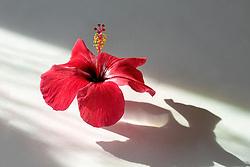Rosa sinensis, red hibiscus#1