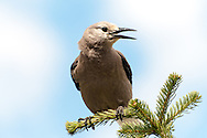 Clark's Nutcracker (Nucifraga columbiana), North Cascades National Park.