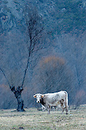 Cow at pasture at Castilla y León province during snowfall