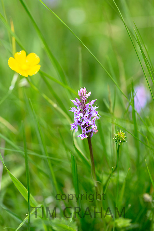 Pyramidal Orchid, Anacamptis pyramidalis, perennial herbaceous plant and buttercup, Ranunculus, in wildflower meadow, UK