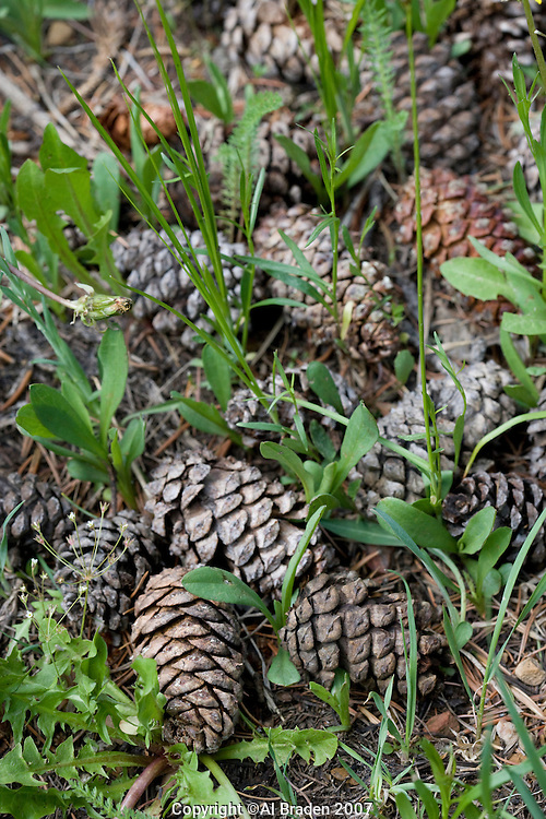 Pine cones at Hayden Pass near Coaldale, Colorado
