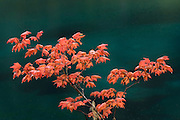 Vine maple Fall color on the McKenzie River Trail at Clear Lake, Oregon.
