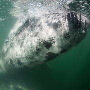 Gray whale calf (Eschrichtius robustus) swimming alongside a whale watch boat, with its mother underneath. The calf is lifting its rostrum above the water to interact with tourists on the boat. Note the silhouette of a person's hands on the front of the calf's lower jaw.