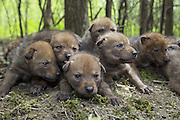 Coyote <br /> Canis latrans<br /> Four-week-old pups resting after being examined by wildlife researchers of the Cook County Coyote Project<br /> Chicago, Illinois