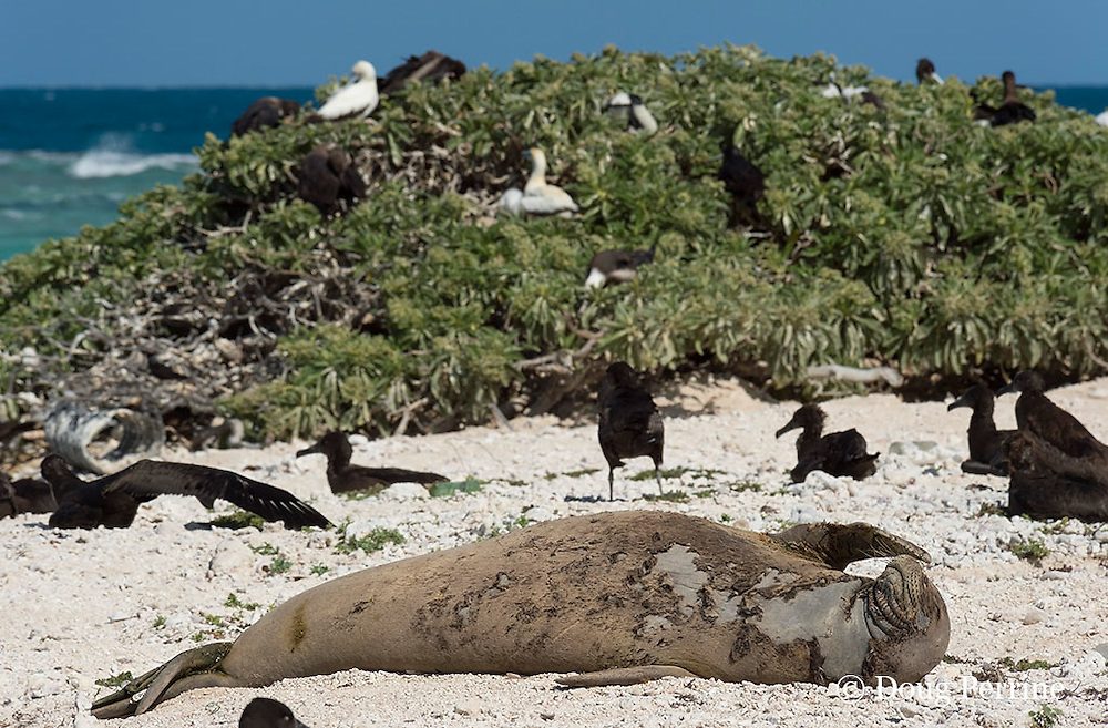endemic Hawaiian monk seal, Monachus schauinslandi ( Critically Endangered Species ), scratches snout while resting on beach while shedding skin and fur during annual molt or moult, black-footed albatrosses, Phoebastria nigripes, and red-footed boobies in background, East Island, French Frigate Shoals, Papahanaumokuakea Marine National Monument, Northwest Hawaiian Islands, USA ( Central Pacific Ocean )