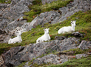 Dall Sheep (Orvis dalli) resting in summer in the alpine tundra along Turnagain Arm, Chugach State Park.  This time of year, shepp shed their winter coats for a lighter summer version.