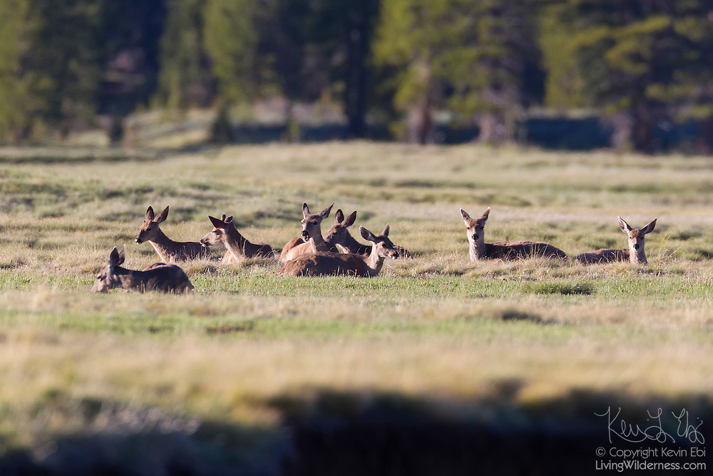 Mule Deer, also known as a Black-Tailed Deer (Odocoileus hemionus), rest and feed in the Tuolumne Meadows in Yosemite National Park, California.