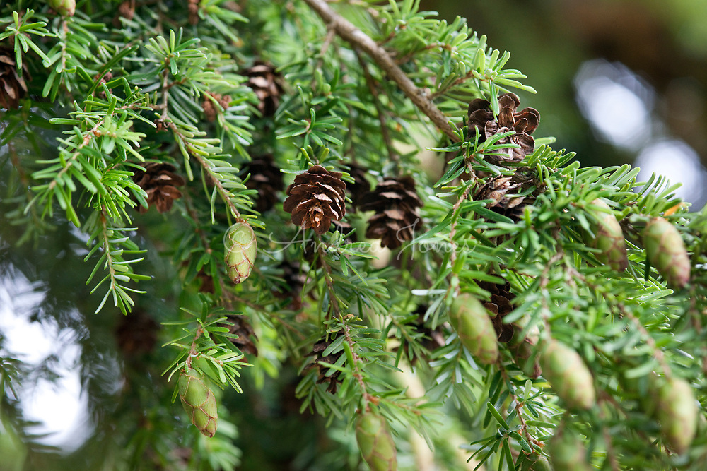 Tsuga heterophylla (Western hemlock) cones and foliage                               Blair Castle, Blair Atholl, Perthshire, Scotland, UK