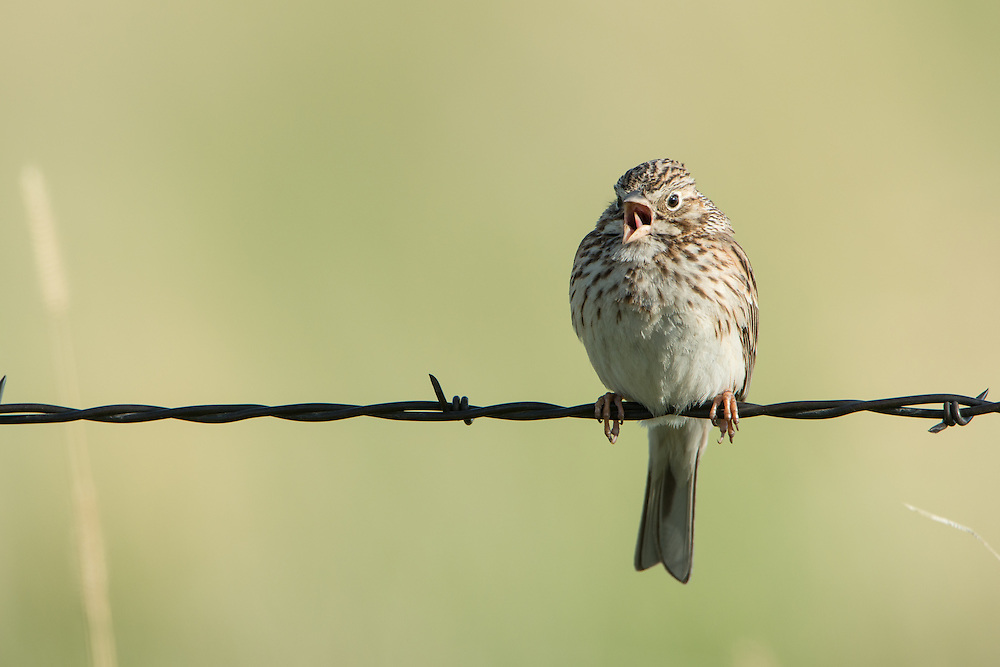 Vesper Sparrow, Missoula County, Montana
