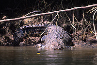 A giant saltwater crocodile on the banks of the Daintree River.