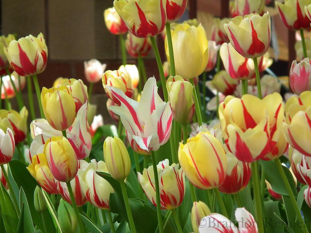 Tulip Festival HS10