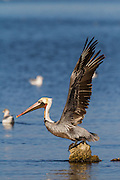 Just before takeoff, a brown pelican stretches out and displays its mighty wingspan at Salton Sea, California.
