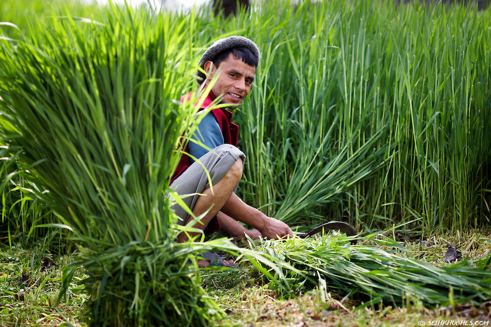 A farmer harvests his crop in a rice paddy field in rural India.