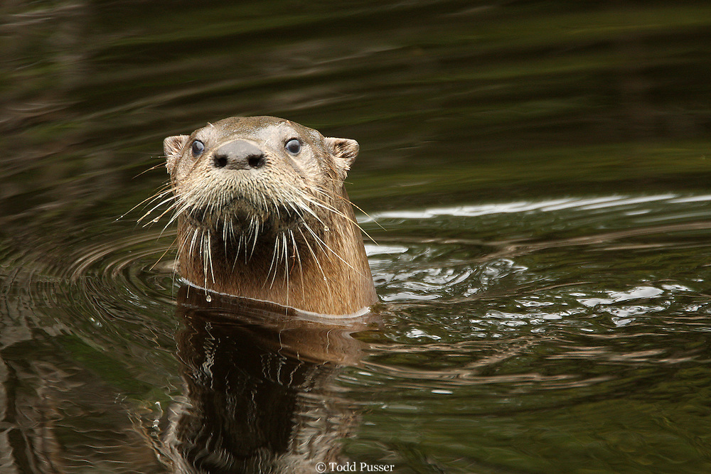 River otter (Lutra canadensis) swimming in a canal at Alligator River National Wildlife Refuge, North Carolina