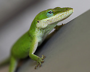 Image of green anole