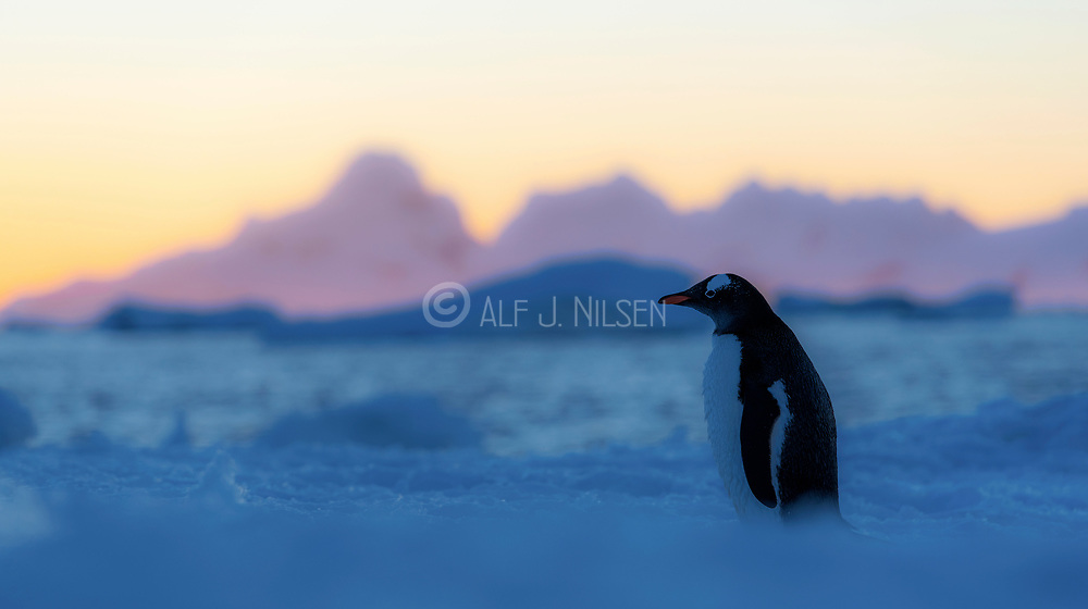 A Gentoo penguin at Georges Point, Ronge Island, Antartica in late evening in Spring.