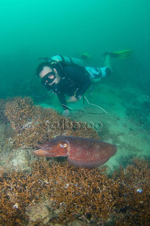 Diver with Broadclub Cuttlefish, Sepia latimanus, Tengku Abdul Rahman Park, Sabah, Malaysia.