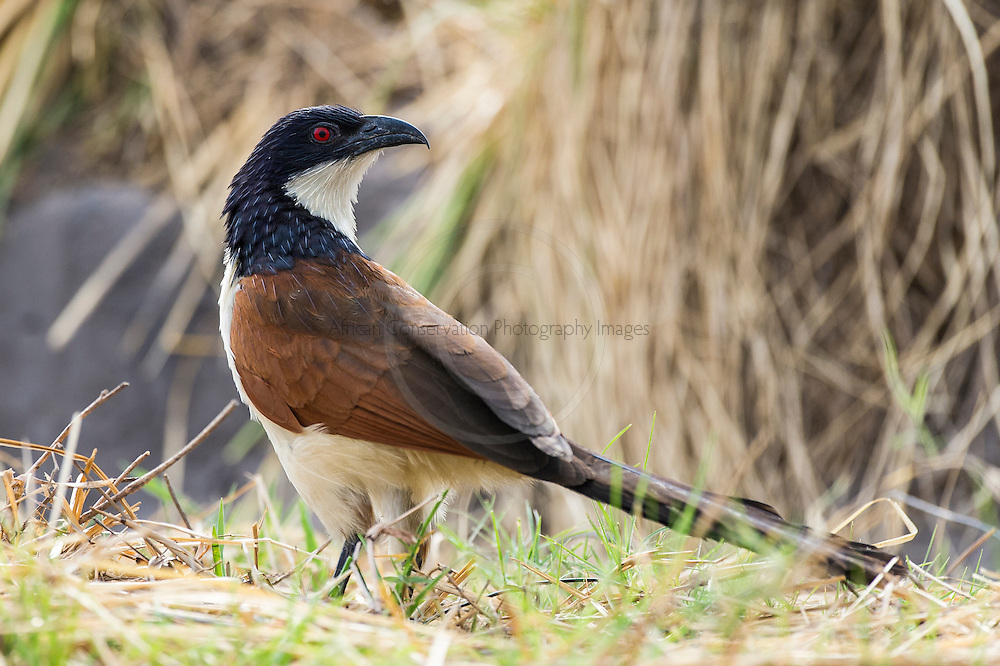 Coppery-tailed Coucal, Chobe River, Kasane, Botswana.