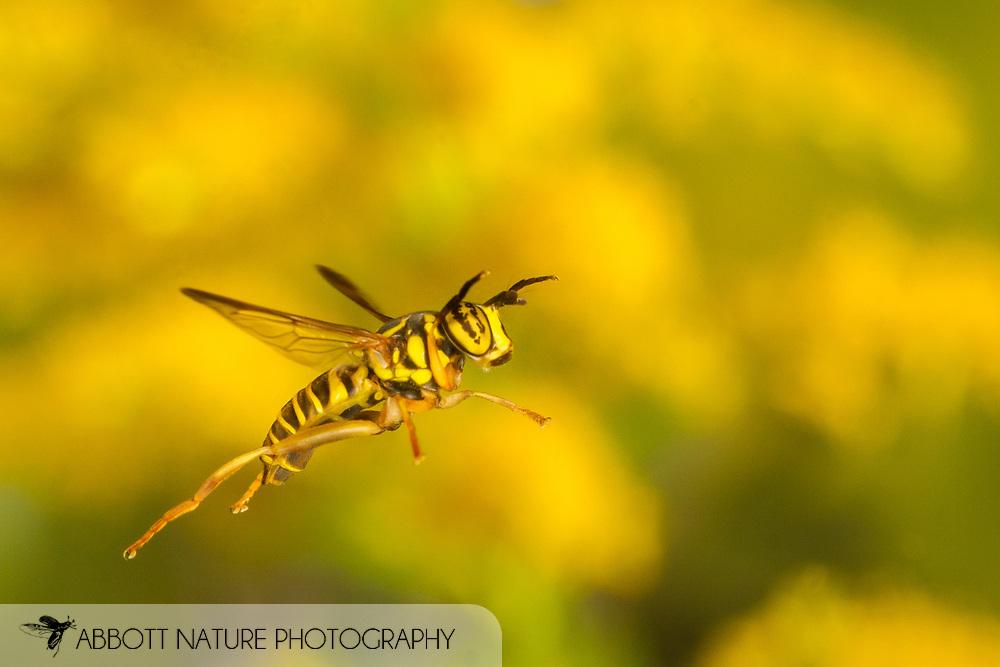 Hover Fly (Spilomyia longicornis) flying<br /> United States: Alabama: Tuscaloosa Co.<br /> Tulip Tree Springs off Echola Rd.; Elrod<br /> 7-Oct-2017<br /> J.C. Abbott #3000