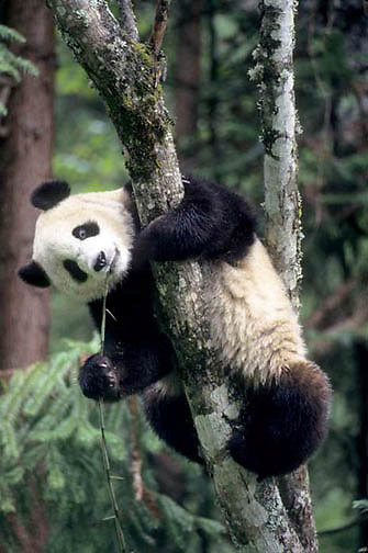 Giant Panda, (Ailuropoda melanoleuca) In tree eating bamboo. Wolong Natural Reserve. Sichuan,China. Captive Animal.