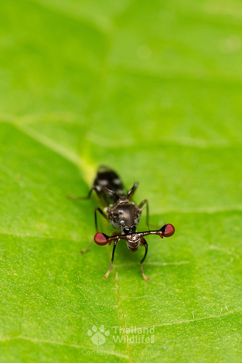 """Stalk-eyed flies are insects of the fly family Diopsidae. The family is distinguished from most other flies by the possession of """"eyestalks"""": projections from the sides of the head with the eyes at the end."""