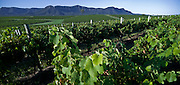 Hunter Valley Vineyard, Australia