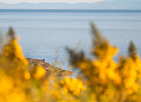 One person looks out to the vast pacific Ocean, near Victoria, BC Canada, with yellow Broom flower in the foreground.