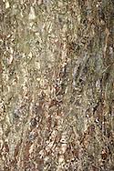 Smooth-leaved Elm - Ulmus carpinifolia