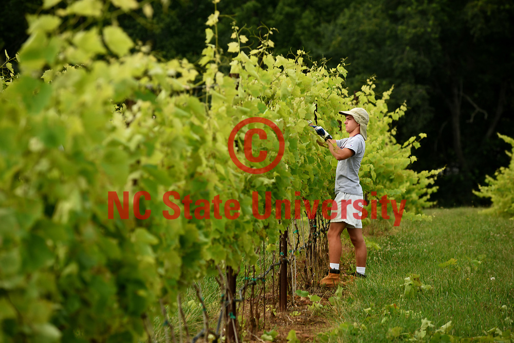 Raffaldini Vineyards worker tends to grape vines.