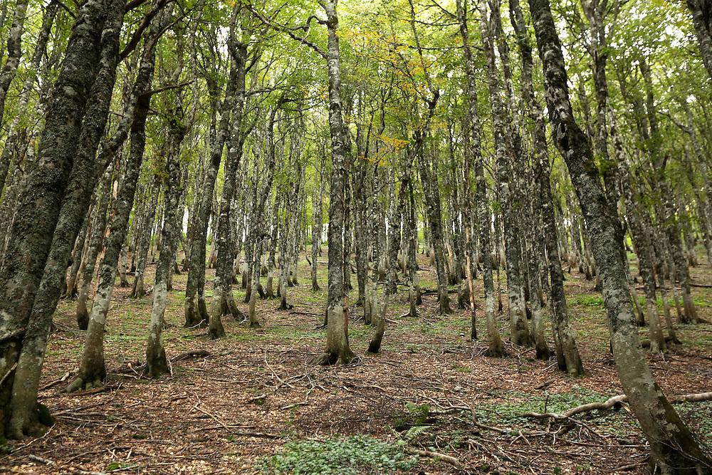 Forest trees, Zelengora mountain, Sutjeska National Park, Bosnia and Herzegovina.