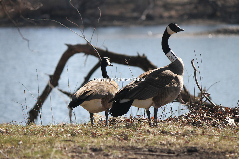 Scenes from Jackson Park this past Saturday.<br /> <br /> 1769 - Geese hanging out by the West Lagoon at Jackson Park.
