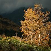 Autumn birches, Glen Etive