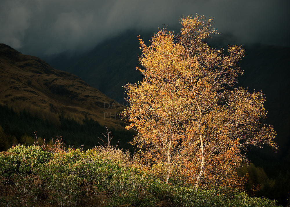 Autumn birches, Glen Etive