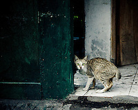 A cat with large green eyes freezes startled near a doorway in Kuta, Bali, Indonesia, Southeast Asia.