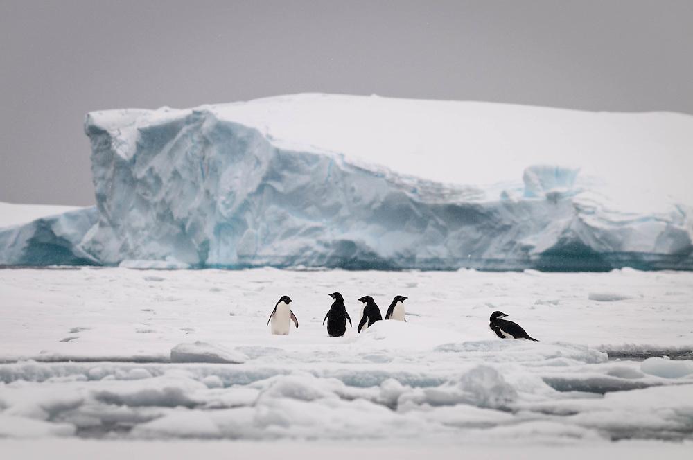 Adelie penguins, Pleneau Bay, Antarctic Peninsula / Pingüinos de Adelia, Bahía de Pleneau, Península Antártica
