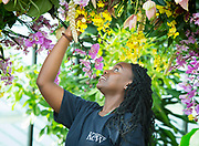 Yasmin Akrofi-Rollock - apprentice inspecting the exhibit prior to opening on Saturday 10th February 2018. <br /> <br /> <br /> Thai Orchid Festival at Kew Gardens, London, Great Britain <br /> 8ths h February 2018 <br /> <br /> A celebration of Thailand's vibrant colours, culture, and magnificent plant life.<br /> <br /> Thousands of orchids and tropical plants exploding with colour in stunning displays <br /> The perfect ways to beat the winter blues, in a hot and balmy glasshouse <br /> The festival runs from Saturday 10 February to Sunday 11 March 2018<br /> <br /> <br /> Kew staff in action putting the finishing touches to the stunning horticultural displays – on ladders, in the ponds and walking<br /> <br /> An exquisite 4 metre Bang Pa-In-inspired palace rises from the central pond covered in pink, yellow and orange orchids <br /> <br /> A larger than life water dragon covered in bright orchids <br /> <br /> Models wandering through the colourful Vanda tunnel <br /> <br /> Beautifully handcrafted floating Thai umbrellas and traditional gold carts on loan from the Thai embassy <br /> <br /> A traditional Thai market boat and rice paddy floating in a pond, covered in yellow and white orchids<br /> <br /> Photograph by Elliott Franks