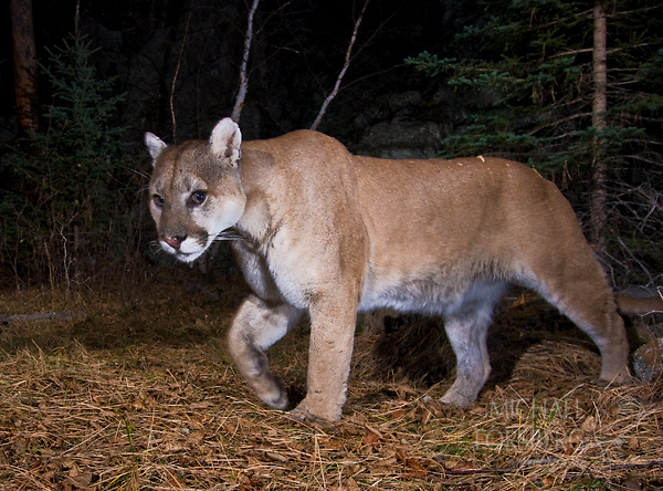 North America's largest cat, the cougar can reach eight feet long and 150 pounds.  Black Hills National Forest, South Dakota.