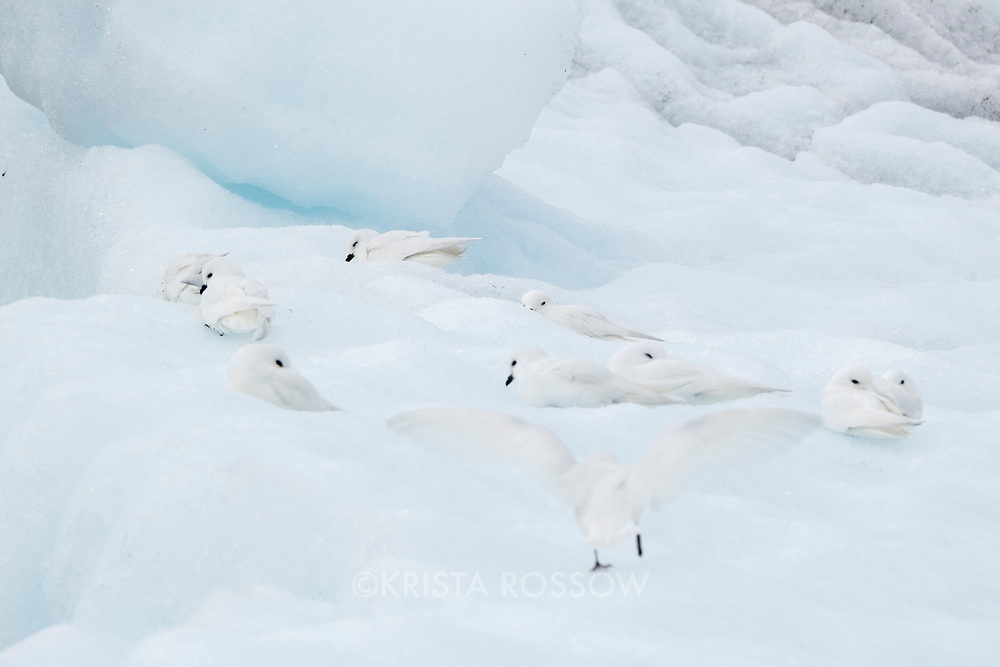 Snow petrels rest on an iceberg from the Nordenskjold Glacier in Cumberland East Bay on the north coast of South Georgia Island.