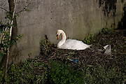 Mute Swan nesting on the Tolka River, Dublin, near Ballybough Bridge or Luke Kelly Bridge, on the road to Fairview. Not sure if this was the male or female - they share the nesting work, tho the male usually stands guard while the female sits. The previous day I had seen both at the nest, but the light wasn't good. There was a batch of large eggs in the clutch - they produce around six eggs, sometimes up to ten or eleven. It takes about 35 days before they hatch - lets hope these ones will be safe from cats and globshitey humans.