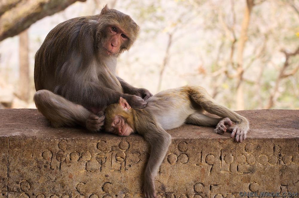 Monkeys grooming at Mt Popa, Myanmar (Burma).