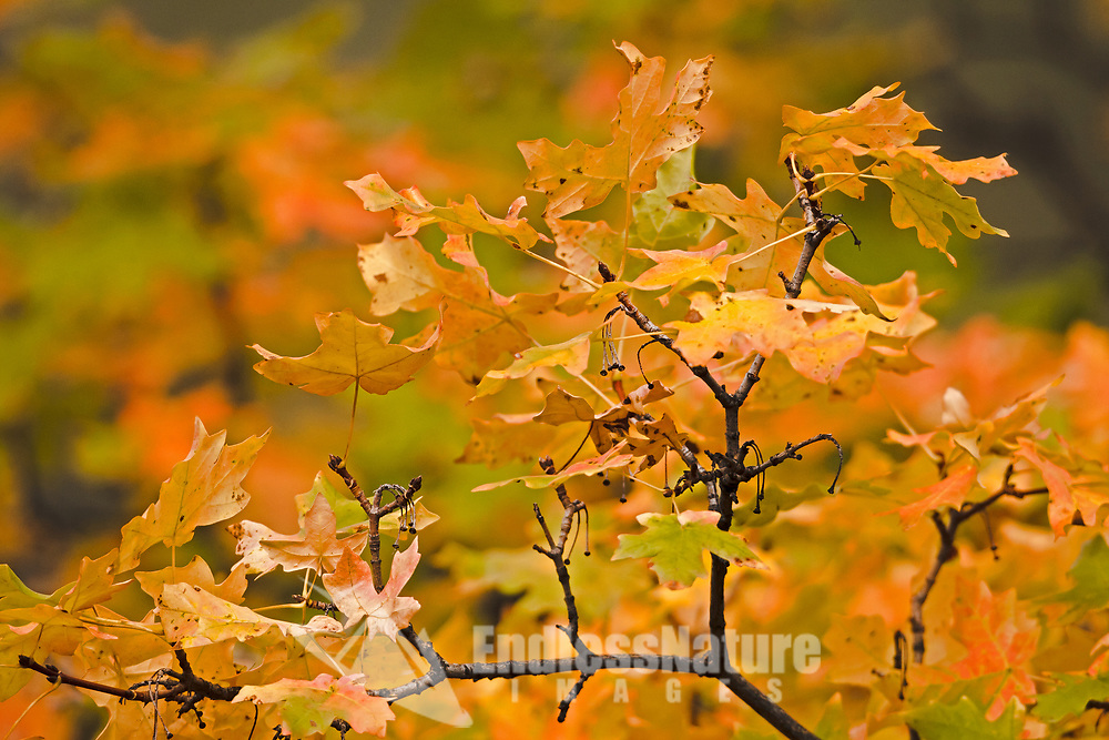 The colorful yellow green leaves of the scrub Oak along the Blacksmith River in northern Utah.