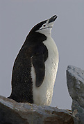 Chinstrap penguin stands high on the rocks puts head back and gives out a call.